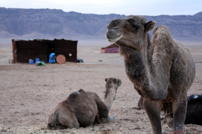 Bactrian camels in Zagora
